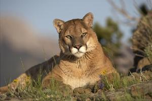 Mountain Lion portrait, North America by Tim Fitzharris