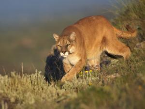 Mountain Lion Stalking Down the Hillside, Montana, Usa by Tim Fitzharris