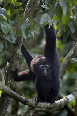 Mueller's Gibbon Hanging in a Tree, Singapore by Tim Fitzharris