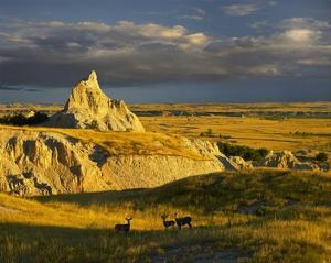 Mule Deer trio in the grasslands of Badlands National Park, South Dakota by Tim Fitzharris