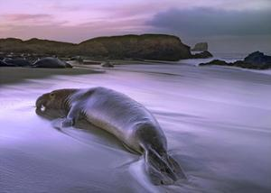Northern Elephant Seal bull laying at surf's edge, Point Piedras Blancas, California by Tim Fitzharris