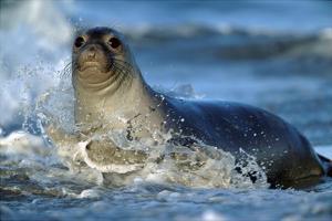 Northern Elephant Seal female in splashing surf, North America by Tim Fitzharris