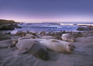 Northern Elephant Seal juveniles laying on the beach, Point Piedras Blancas, Big Sur, California by Tim Fitzharris