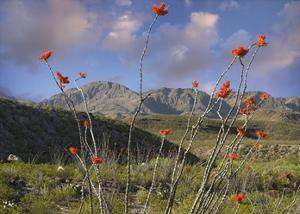 Ocotillo Big Bend Ranch State Park, Chihuahuan Desert, Texas by Tim Fitzharris