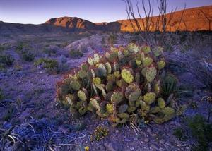 Opuntia in Chihuahuan Desert landscape, Big Bend National Park, Texas by Tim Fitzharris