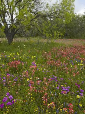 Paintbrush, Phlox, Evening Primrose Meadow, Atascosa County, Texas, Usa by Tim Fitzharris