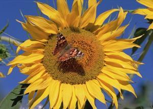 Painted Lady butterfly on sunflower, New Mexico by Tim Fitzharris