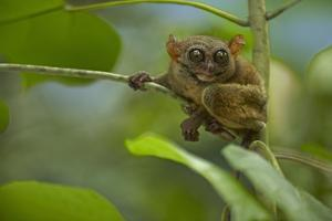 Philippine Tarsier Hanging Out in a Tree, Bohol, Philippines by Tim Fitzharris