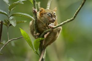 Philippine Tarsier Perched in a Tree, Bohol, Philippines by Tim Fitzharris