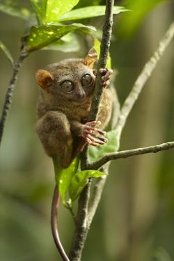 Philippine Tarsier Reaching for a Branch, Bohol, Philippines by Tim Fitzharris