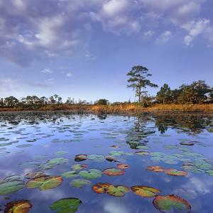 Pond Lilies, Jonathan Dickinson State Park, Florida, Usa by Tim Fitzharris