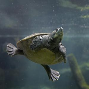 Portrait of a Giant Asian Pond Turtle, Singapore by Tim Fitzharris