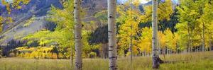 Quaking Aspen grove in autumn, Colorado by Tim Fitzharris