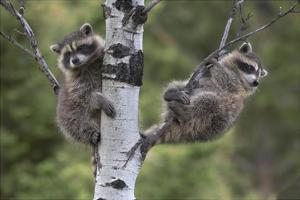 Raccoon two babies in tree, North America by Tim Fitzharris
