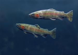 Rainbow Trout pair swimming underwater by Tim Fitzharris