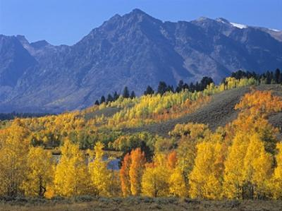 Ranger Peak and Aspen forest in autumn, Grand Teton National Park, Wyoming by Tim Fitzharris