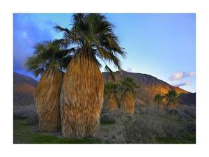 Real Fan Palm Anza-Borrego Desert, California by Tim Fitzharris