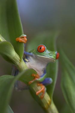 Red-Eyed Tree Frog, Costa Rica by Tim Fitzharris