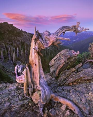 Rocky Mountains Bristlecone Pine tree overlooking forest, Rocky Mountain National Park, Colorado by Tim Fitzharris