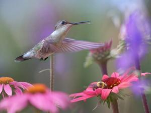 Ruby-throated Hummingbird drinking at a flower, Arkansas, USA by Tim Fitzharris