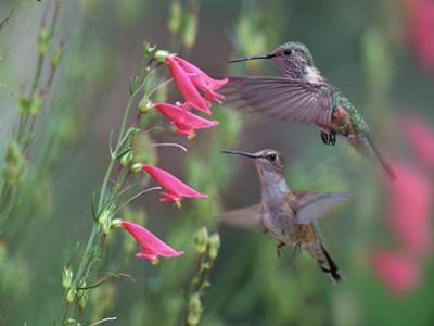 Ruby-throated Hummingbirds, Texas by Tim Fitzharris