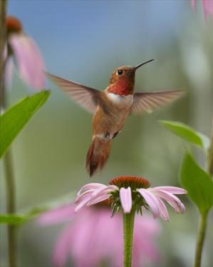 Rufous Hummingbird male feeding on flower nectar by Tim Fitzharris