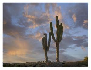 Saguaro cacti, Cabo San Lucas, Mexico by Tim Fitzharris