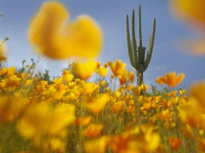 Saguaro cactus and California Poppy field at Gonzales Pass, Tonto National Forest, Arizona by Tim Fitzharris