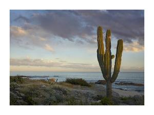 Saguaro cactus at beach, Cabo San Lucas, Mexico by Tim Fitzharris