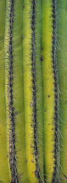 Saguaro cactus close up of trunk and spines, North America by Tim Fitzharris