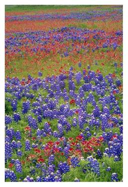 Sand Bluebonnet and Paintbrush flowers, Hill Country, Texas by Tim Fitzharris
