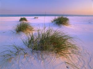 Sea Oats growing on beach, Santa Rosa Island, Gulf Islands National Seashore, Florida by Tim Fitzharris