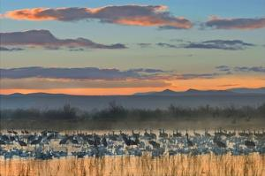 Snow Geese and Sandhill Cranes, Bosque del Apache National Wildlife Refuge, New Mexico by Tim Fitzharris
