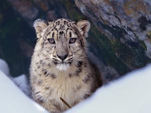 Snow Leopard, Montana, Usa by Tim Fitzharris