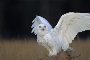 Snowy Owl adult, circumpolar species, British Columbia, Canada by Tim Fitzharris