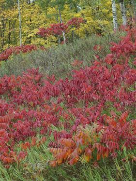 Staghorn Sumac at Cloquet Valley State Forest, Minnesota by Tim Fitzharris