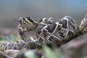 Threat Display of a Young Eastern Diamondback Rattlesnake, Costa Rica by Tim Fitzharris