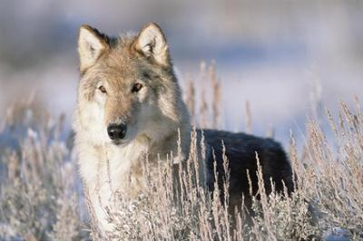 Timber Wolf portrait, North America by Tim Fitzharris