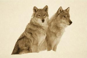 Timber Wolf portrait of pair sitting in snow, North America - Sepia by Tim Fitzharris
