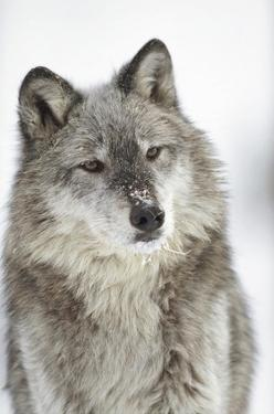 Timber Wolf portrait with snow on muzzle, Montana by Tim Fitzharris