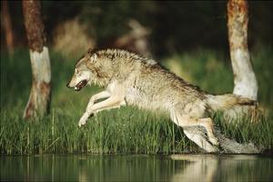 Timber Wolf running through shallow river, Montana by Tim Fitzharris
