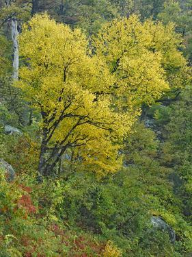 Tree in Yellow Fall Foliage at Marys Rock, Shenandoah National Park, Virginia by Tim Fitzharris
