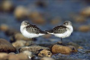 Western Sandpipers pair standing back to back with beaks tucked under wings, North America by Tim Fitzharris