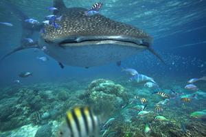 Whale Shark over Coral Reef, Cebu, Philippines by Tim Fitzharris