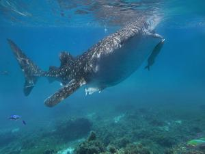 Whale Shark with a Remora Feeding at Surface, Oslob, Cebu, Philippines by Tim Fitzharris