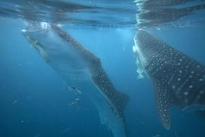 Whale Sharks Feeding at the Surface, Cebu, Philippines by Tim Fitzharris