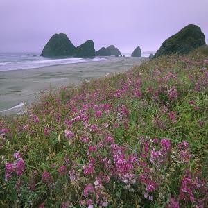 Wild Sweet Peas Overlook the Beach, Pistol River, Oregon by Tim Fitzharris