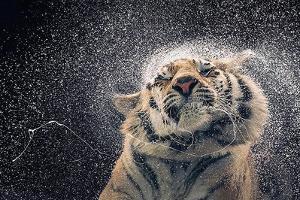 Tim Flach - Kanja Tiger Poster