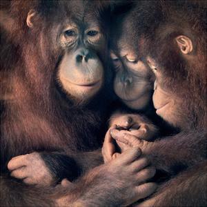 Orangutan Family by Tim Flach