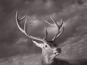 Red Deer by Tim Flach